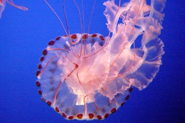 pink jellyfish washuta